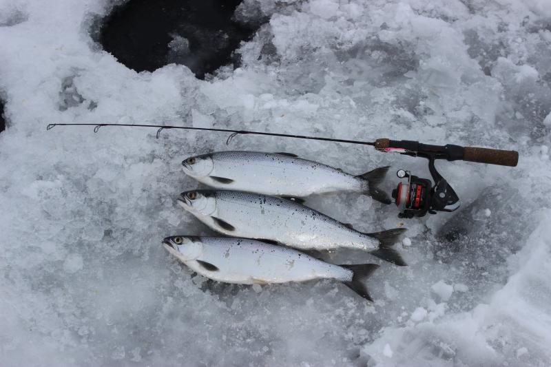 blue mesa kokanee salmon through the ice in 2016!