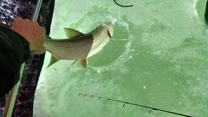 2015 Blue mesa lake trout through the ice!